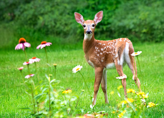 White Tailed deer fawn stands near flowers in a garden