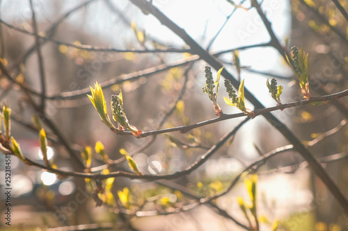 Poplar leaves bloom in the spring Canvas Print