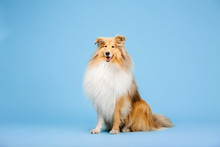Cute Rough Collie Dog On Blue Background