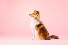 Shetland Sheepdog Dog In The Photo Studio On Pink Background