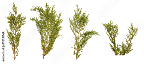 Sprout of cypress Leylandia on white background Fototapet