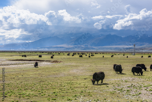 Aluminium Prints Bison View of grass filed on the east side of the Nyenchen Tanglha Mountains range in Damxung(Dangxiaong) County, Lhasa, Tibet, China.