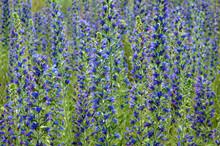 The Purple Flowers Of The Echium Vulgare