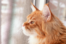 Red Maine Coon Kitten Looking ...