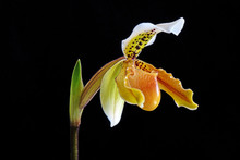Venus Slipper Orchid : Paphiopedilum Exul Is A Species Of Orchid Endemic To Peninsular Thailand. Paphiopedilum, Often Called The Venus Slipper, A Genus Of The Lady Slipper Orchid Subfamily. Isolated.