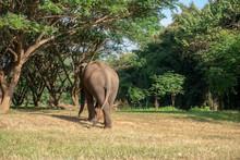 Asiatic Or Asian Elephant In Farm.
