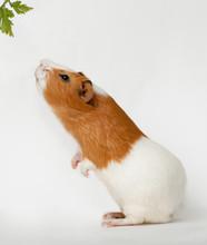 Guinea-pig Is Smelling Verdure...