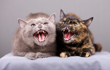 Portrait Of Two Cats When They Hiss In A Rage Are In An Aggressive State