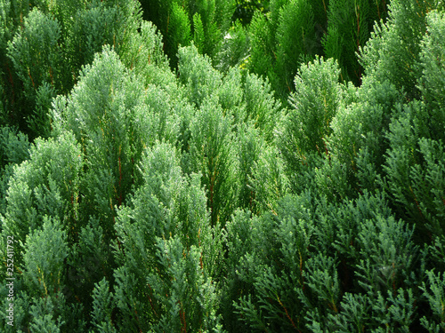 Papiers peints Forets green pine leaf tree