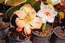 Close Up Of Beautiful Blooming Colorful Amaryllis Zombie (Amaryllis Sonata) Is Hybrid Double-flower Amaryllis In Flowerpot Which Is Bulbous Plant Use As Ornamental Flowering Plant In Garden And Park.