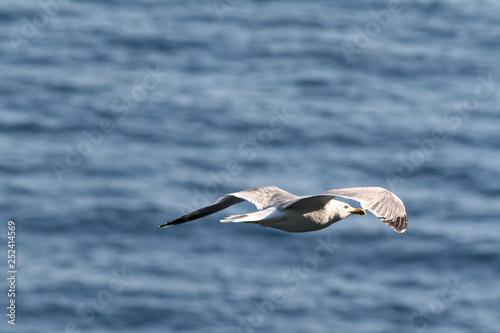 Fotografía  Mewa (Larinae) w locie nad morzem