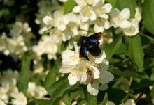 Carpenter Bee On Flowers Of Sweet Mock-orange
