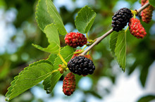 Fruits Of Black Mulberry