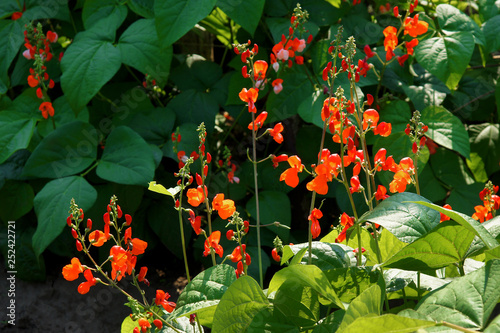 Flowers of Runner Bean Plant Fototapet