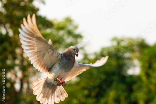 Photo Stands Roe red feather speed racing pigeon flying in green park
