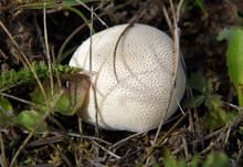 Lycoperdon Perlatum Or Puffball