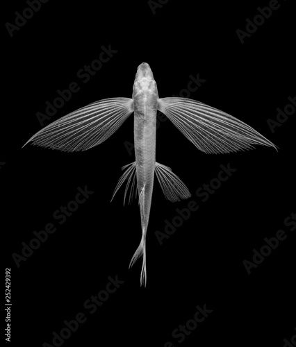 flying fish on black background, isolated Wallpaper Mural