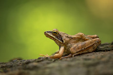 European Common Frog Rana Temporaria In Czech Republic