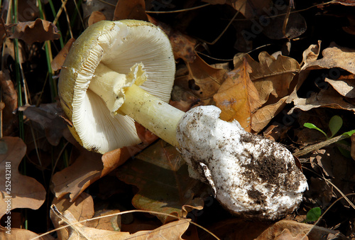 Poisonous mushroom Amanita phalloides Canvas Print
