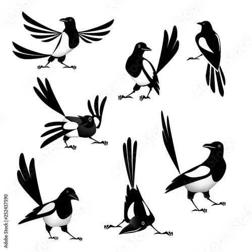 Photo Magpie Set of vector drawings Magpie. Illustration.