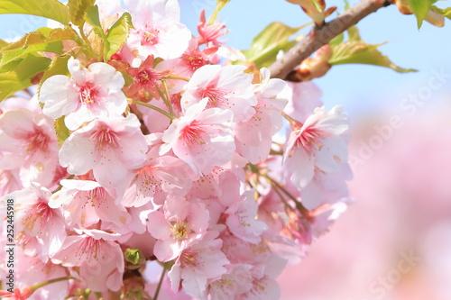青空と河津桜  Cherry Blossoms (Kawazu-zakura) Canvas-taulu