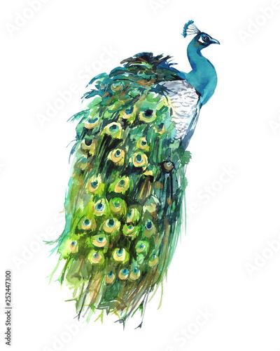Fotografia Peacock Feathers Watercolor Graphics