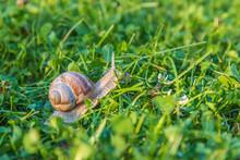 Helix Pomatia, Roman Snail, Burgundy Snail, Edible Snail Or Escargot, In The Garden With Sunset Light