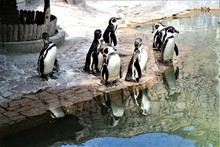 Penguins At The Zoo In Tokyo