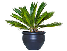 Palm Background. Closeup Of A Palm In A Decorative Blue Ceramic Pot Isolated On A White Background.