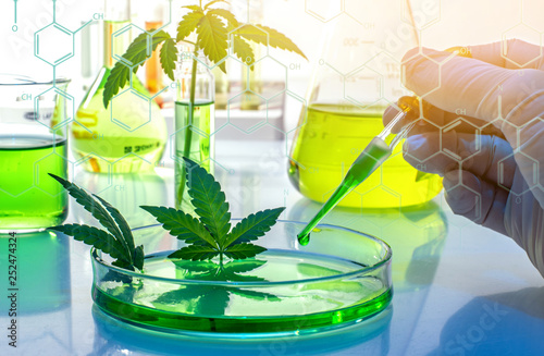 Fototapeta Scientific research of medical cannabis for use in medicine, biotechnology concept obraz