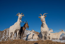 Goats In The Mountainous And K...