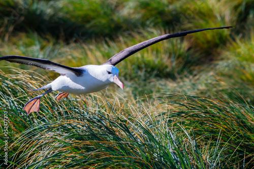 Fotografia, Obraz  Albatross coming in for a landing