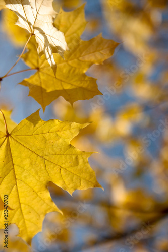 Yellow maple leaves on a colorful background Wall mural