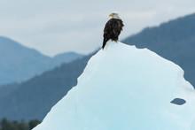 Bald Eagle (Heliaeetus Leucoce...