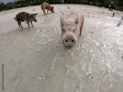 Fotografie, Obraz  Swimming pigs at the shores of the Major Cays in the Bahamas, with one pig look