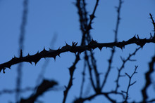 Branches With Sharp Thorns With Overexpose Effect In Front Of High Contrast Blue Background, Thorn Bush Background Abstract Colored