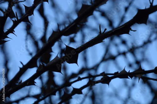 Foto  extreme detail view of branches with sharp thorns with overexpose effect in fron