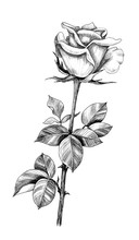 Hand Drawn Rose Bud  With Leaves