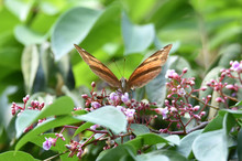 Bodied Butterflies And Brown Wings