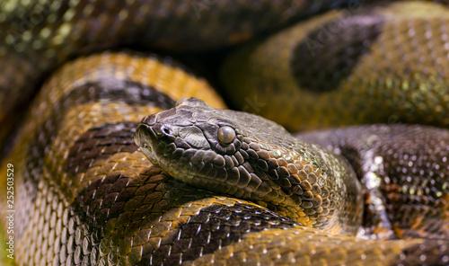 Eine Anaconda liegt auf der Lauer Fototapeta