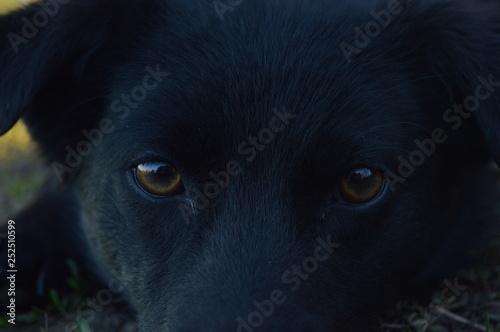 Poster Panter black dog looking at camera