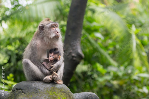 Fotografie, Obraz  Monkey mother is sitting on a rock in the jungle hugging her cub.