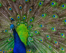 Blue Peacock Displaying The Ey...