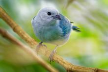Blue-grey Tanager - Tangara Ep...
