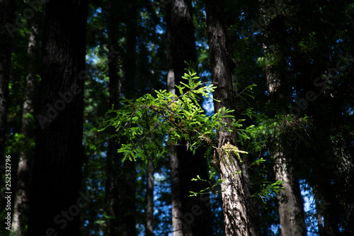 United States redwood forest plant with colorful green Canvas Print