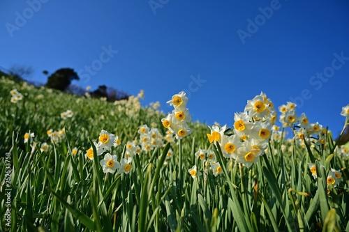 Photo sur Toile Narcisse 青空バックに咲く満開のスイセン
