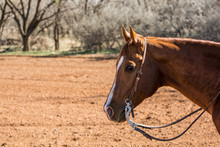 Portrait Photo Of A Horse With...