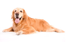 An Adult Golden Retriever Isolated On White Background