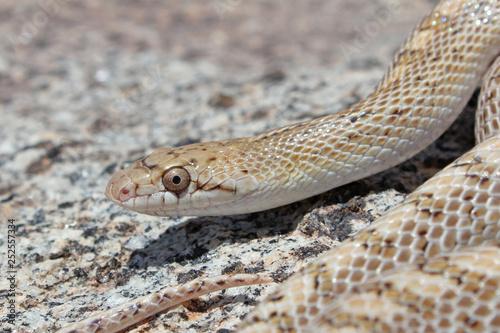 Fotografía  Glossy Snake (Arizona elegans) Close-up