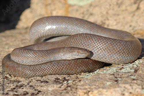 Fotografía Lichanura orcutti Rosy Boa Snake
